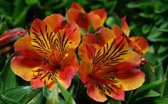 Shade Garden Flowers And Decor Ideas Firenze - Alstromeria - Flowers by class Peruvian Lilies, Burgundy Bridesmaid, Bridesmaids, Church Flowers, Fall Bouquets, Types Of Flowers, Begonia, Orange Flowers, Shade Garden