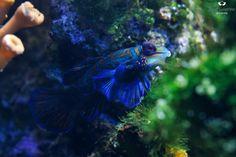Mandarinfish - by Josef Gelernter