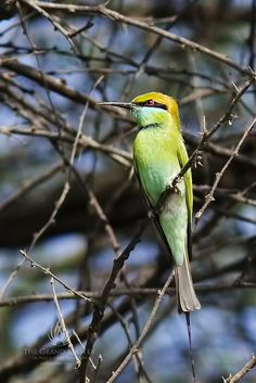 A Green Bee-Eater. (Merops orientalis.)                             Photo By: Dr. Prem Sundar on 500px.