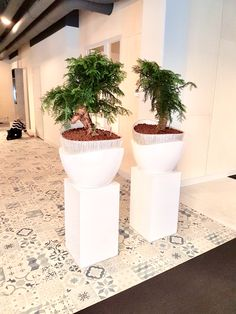 Vase in vase with Araucaria