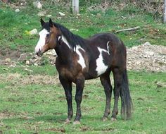 Overo paint horses. This is a good website explaining the paint horse color patterns. Mary's horse is a beautiful overo paint with one blue eye and one brown.