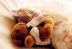 Kitty taking nap with teddy bear - pets and animals / sleeping and cuddling with stuffed animals