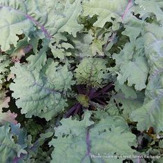 Red Russian Kale, also called Ragged Jack, is an extremely cold-hardy variety that originated in Russia and was introduced to Canada around 1885.  The highly attractive blue-green leaves have purple veins and stems, turn reddish-purple in cold weather, and have lightly-frilled edges.  Approximately 100 Red Russian Kale seeds per packet. Red Russian Kale, Winter Crops, Blue Green, Purple, Stems, Green Leaves, Cold Weather, Canada, Mood