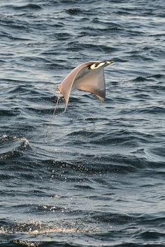 Smooth-tailed Mobula Ray leaping
