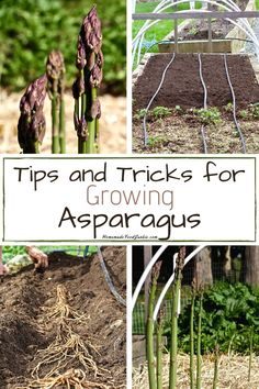 We teach you how to plant a successful bed of asparagus from bare root crowns, that will yield strong harvests for years. Your crop will multiply over the years as they mature. When To Plant Asparagus, Asparagus Garden, Asparagus Roots, How To Make Asparagus, Herb Garden, Garden Features, Gardening Tips, Vegetable Gardening, Garden Inspiration