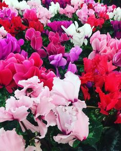A sea of #cyclamen - perfect colors for #valentinesday!