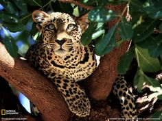 SUCH BEAUTIFUL CREATURES..I ABSOLUTELY LOVE LEOPARDS