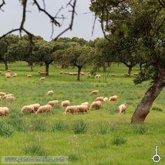 Ovejas en la dehesa de Extremadura Goats, Cattle