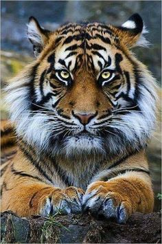 Tiguer cute baby animals, animals and pets, wild animals, nature animals, beautiful Nature Animals, Animals And Pets, Wild Animals, Royal Animals, Art Nature, Beautiful Cats, Animals Beautiful, Animals Amazing, Stunningly Beautiful