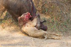 Epic lion/buffalo fight!