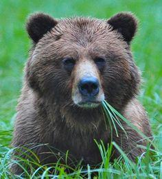 Female Silverbacked Grizzly - Khutzeymateen. #VirtualTourist