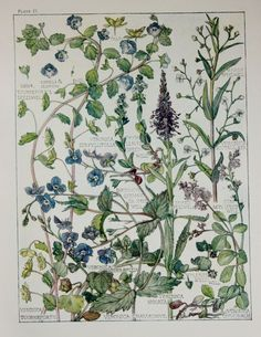 071514 germander ~ 1910 Botanical Print by H. Isabel Adams Figwort by PaperPopinjay, $15.00