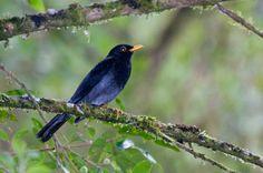 Foto sabiá-una (Turdus flavipes) por Ivan Angelo | Wiki Aves - A Enciclopédia das Aves do Brasil