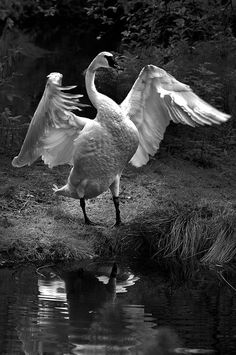 Trumpet of the Swan    Trumpeter Unfurled ©DanielSchual-Berke  The largest known male Trumpeter attained a length of 183 cm (72 in), a wingspan of 3.1 m (10 ft) and a weight of 17.2 kg (38 lb).
