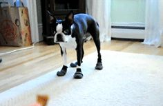 Boots And Treats #BostonTerrier