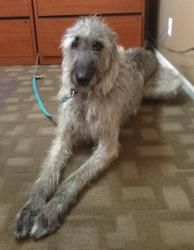 Lucky is an #adoptable Irish Wolfhound Dog in #Aurora, #COLORADO. While my name may be Lucky I am a little down on my luck right now. My original family who owned me most of my 5 years of life ended up divor...