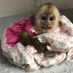 Capuchins Monkey Animals For Sale Baby Monkey For Sale, Monkeys For Sale, Cute Baby Monkey, Finger Monkey For Sale, Monkey Pictures, Baby Animals Pictures, Funny Animal Photos, Cute Baby Animals, Capuchin Monkey For Sale