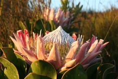 Protea, my love, my home. South of the Sahara: July 2007