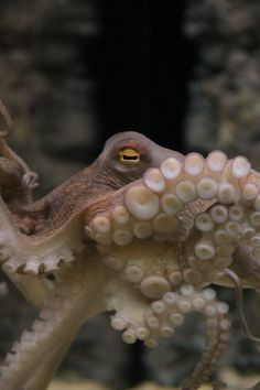 Octopus Eye Photo by B. Tattersall -- National Geographic Your Shot Octopus Eyes, Octopus Squid, Walt Disney Movies, Photos Of Eyes, Life Aquatic, Steampunk Cosplay, National Geographic Photos, Your Shot, Ocean Life