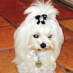 Gratzi, a precious Maltese who always looks very chic in her Snap-In Bows.