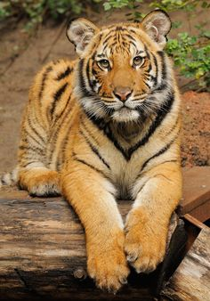 Connor the tiger didn't look quite so serious at 8 months old. Photo by Mike Wilson
