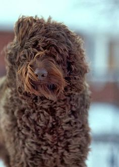 Top 10 Dog Breeds, Poodle is the 8th one :)