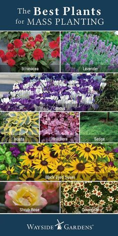 Front Yard Landscaping The Best Plants for Mass Plantings! Fill in empty spaces in your garden or landscape to minimize weed growth, all while creating an alluring space. Mass planting is also a great way to add pops of color to your garden. Landscaping Plants, Front Yard Landscaping, Landscaping Ideas, Front Yard Plants, Luxury Landscaping, Landscaping Software, Landscaping Company, Garden Yard Ideas, Lawn And Garden