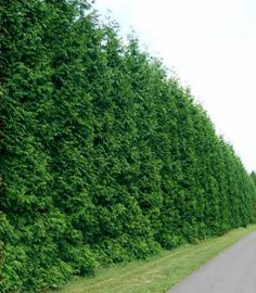 Green Giant Thuja fast growing hedge (privacy hedge) | Home ...