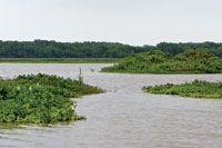 Islas de vegetación flotante derivan con la corriente hacia el Golfo de Urabá.