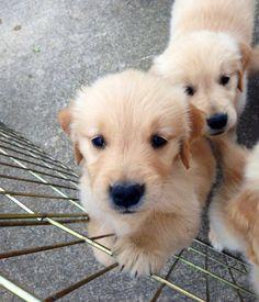 #cachorro #GoldenRetriever #filhote