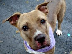 """SAFE - 2/16/15 by Zani's Furry Friends Pet Rescue --- Manhattan Center   DIAMOND - A0968277 *** RETURNED ON 11/22/14 - """"LANDLORD ISSUES"""" ***  SPAYED FEMALE, SABLE / WHITE, PIT BULL MIX, 2 yrs, 10 mos OWNER SUR - EVALUATE, HOLD RELEASED Reason LLORDPRIVA  Intake condition UNSPECIFIE Intake Date 11/22/2014, From NY 11101, DueOut Date 11/22/2014,  https://www.facebook.com/photo.php?fbid=913165285363018"""