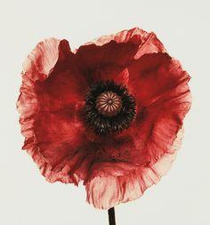 View Poppy Burgundy, New York by Irving Penn on artnet. Browse upcoming and past auction lots by Irving Penn. Art Floral, Irving Penn Flowers, Fashion Fotografie, No Rain, Art Graphique, Salvador Dali, Looks Style, Botanical Illustration, Fine Art Photography