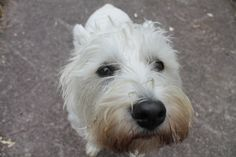 Westie with a big head Fed on Seahorse Atlantic dog supplement Sea Weed Recipes, Marine Environment, Westies, Seaweed, Dog Cat, Horses, Mom, Pets, Natural