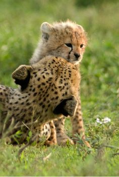Cheetah Mother Giving Her Cub a Reassuring Kiss.