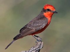 Vermilion Flycatcher Photos and Videos for, All About Birds, Cornell Lab of Ornithology Vermilion Flycatcher, Red Blush, Brown Bird, Flying Insects, All Birds, Backyard Birds, Brown And Grey, South America, Habitats