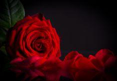 Red_Rose_Black_Background.jpg (4000×2760)