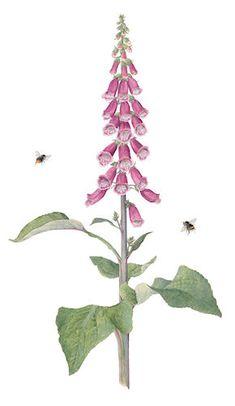 http://www.evelynbinns.com/gallery/foxglove_bees.html