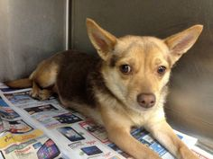 **URGENT** GEORGIA**  PLEASE HELP SAVE!!** at Kill Shelter #135936 Female Chihuahua   These animals are at Clayton County Animal Control at 1396 Government Circle Jonesboro, GA 30236. For help with rescue coordination, please email jmpartnersccac@gmail.com, ccacpartners@gmail.com, ansearcher@gmail.com https://www.facebook.com/photo.php?fbid=704814072870965&set=a.511463058872735.129181.339511346067908&type=3&theater