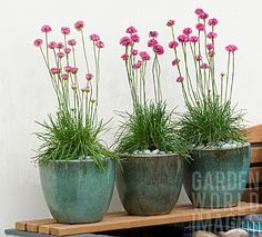Armeria Martima Sea Thrift .... potted or in the garden ..  easy to grow perennial ... full sun to partial shade