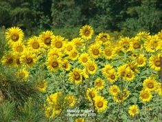 Memory Holder's Photography....sunflowers