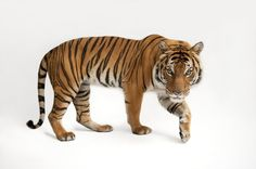 Tiger Subspecies Pictures -- National Geographic Animals