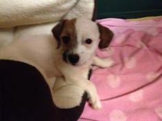 Baxley is an adoptable Maltese Dog in Lawrenceville, GA.