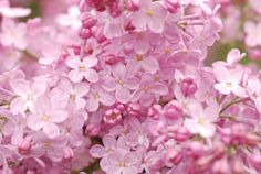 Pearly Pink Lilacs