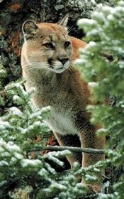 Cougars (Mountain Lions) - Living with Wildlife | Washington Department of Fish & Wildlife