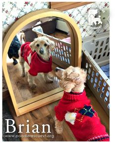 Not even Brian can believe how cute he is!   Brian is a very sweet poodle mix who was rescued from a cruelty and neglect case. Brian gets along with all the dogs in his foster home. He weighs 12 lbs (and gaining) and is about eight years old. Brian would love a home where he will be adored for the sweet boy he is. Check out our website at www.poodlerescuevt.org and follow us on Facebook at www.facebook.com/pages/Poodle-Rescue-of-Vermont/167941746567108