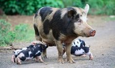 The Bentheim Black Pied pig. A rare breed of domestic pig in Germany. This Little Piggy, Little Pigs, Berkshire Pigs, Farm Animals, Cute Animals, Pig Breeds, Teacup Pigs, Pet Pigs, Baby Pigs