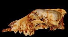 30,000-year-old skulls thought to belong to the earliest domesticated dogs found that the animals were actually wolves.