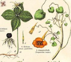 Antique Botanical Plate . Schubert plantae by slinkymalinkicat, $29.95