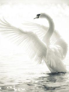 Graceful Swan Wall Mural | Eazywallz