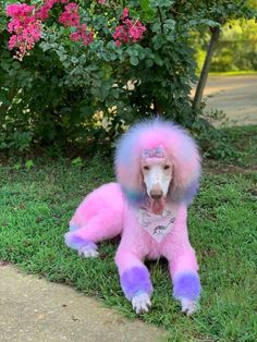 Happy and adorable Luna had a grooming work that was done by Hannah Norris with OPAWZ Funky Color shampoo! She left the color over 40 minutes and the result was this bright pastel pink tone. Dog Grooming Styles, Dog Grooming Shop, Poodle Grooming, Dog Grooming Business, Puppies And Kitties, Corgi Puppies, Doggies, Dog Dye, Poodle Haircut